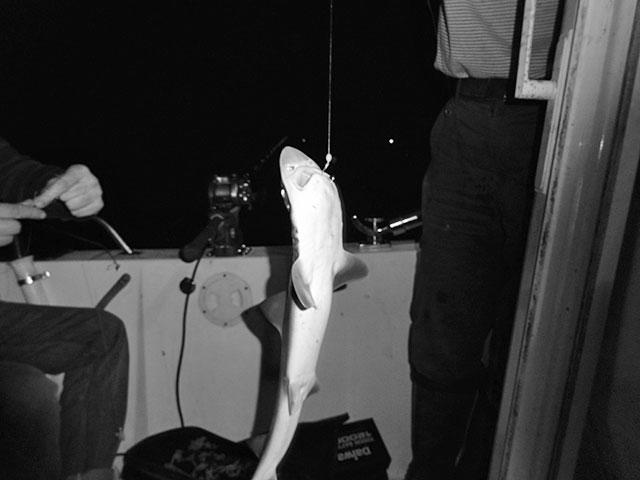 Поймали акулу в Японском море