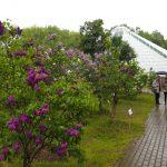 «Неделя сирени» в ботаническом саду  12