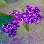 «Неделя сирени» в ботаническом саду  14