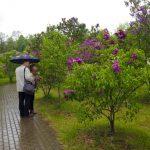 «Неделя сирени» в ботаническом саду  11