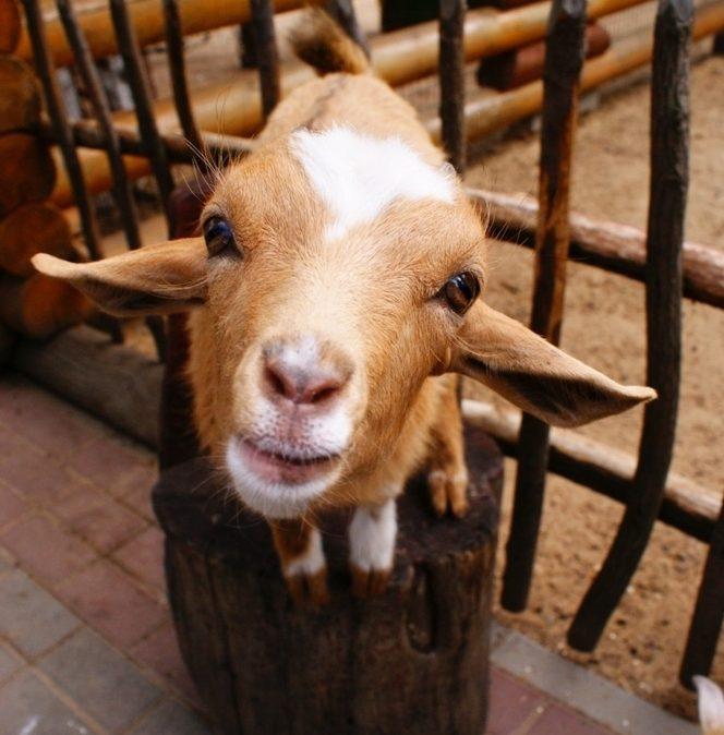 В минском зоопарке из-за посетителей пострадали камерунские козы 7