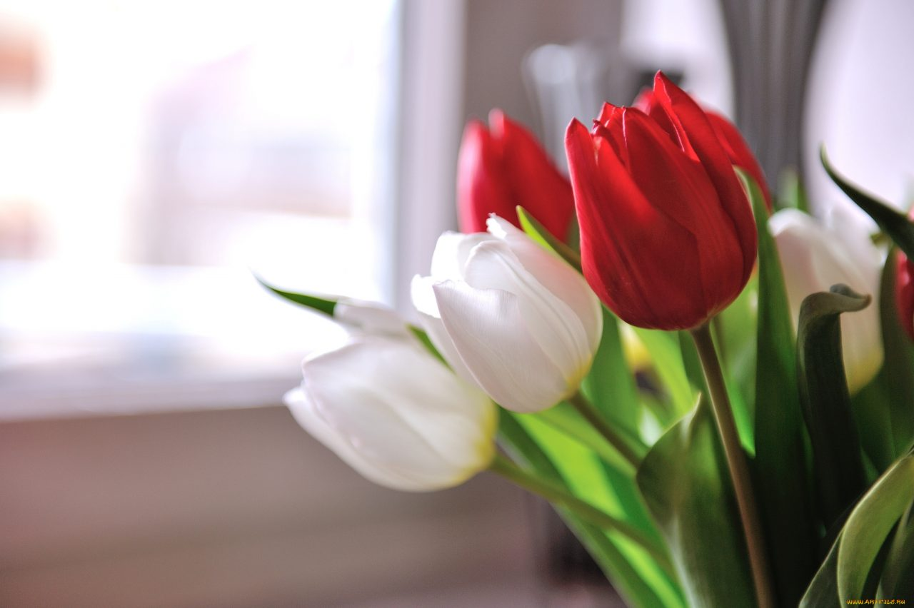 В чем прелесть тюльпанов? 12
